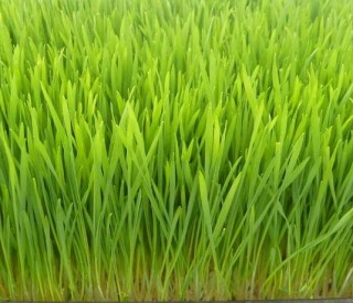 Cleansing with Wheatgrass